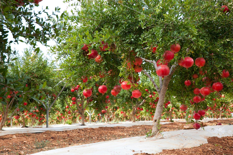 Vivaio Rosso Melograno : Consorzio kore frutti di sicilia